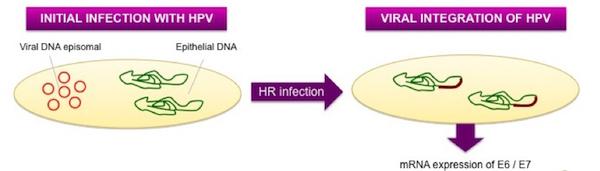DNA episomale